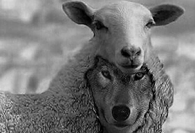 lupo e pecora